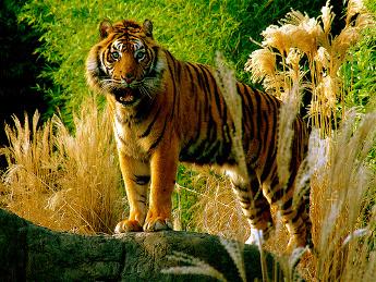 Tigre en el Zoo de Rotterdam